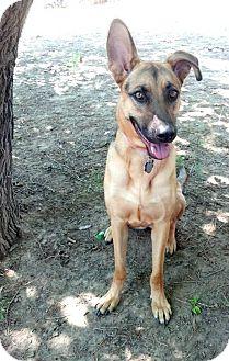 German Shepherd Dog/Pit Bull Terrier Mix Dog for adoption in Denver, Colorado - Shiloh