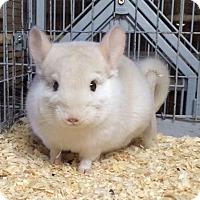 Adopt A Pet :: 4.5 mo goldbar chinchilla - Hammond, IN