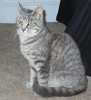 Domestic Shorthair Cat for adoption in Burgaw, North Carolina - Lily