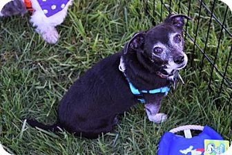 Chihuahua Dog for adoption in Fairfield, Ohio - Howie