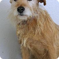 Adopt A Pet :: Ginger - Penngrove, CA