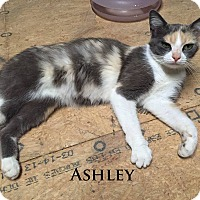Adopt A Pet :: Ashley - Bentonville, AR