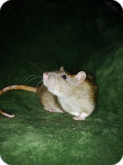 Rat for adoption in Welland, Ontario - Chyanne