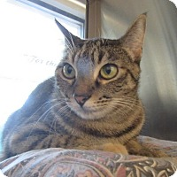 Adopt A Pet :: Tabby  $60 - North Richland Hills, TX