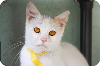 Domestic Shorthair Cat for adoption in Angola, Indiana - Goldie