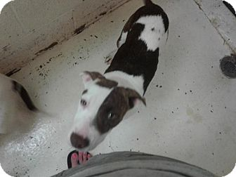 Pit Bull Terrier Mix Puppy for adoption in Fayetteville, West Virginia - Star