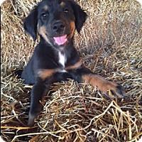 Adopt A Pet :: Harper - Hagerstown, MD