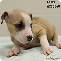 Adopt A Pet :: CASEY - Conroe, TX