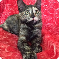Domestic Shorthair Kitten for adoption in Bloomsburg, Pennsylvania - Madison and Mallory