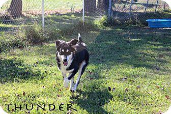 Shepherd (Unknown Type)/Husky Mix Dog for adoption in Texarkana, Arkansas - Thunder