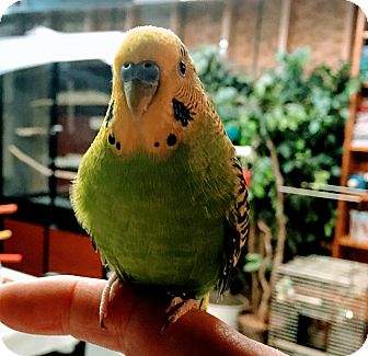 Budgie for adoption in Shawnee Mission, Kansas - Charlie