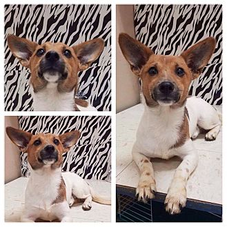 Jack Russell Terrier/Chihuahua Mix Puppy for adoption in Oxford, Connecticut - Cody