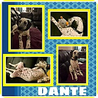 Adopt A Pet :: Dante - Fort Collins, CO