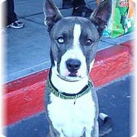Adopt A Pet :: Andy - Las Vegas, NV