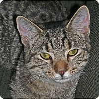Domestic Shorthair Cat for adoption in Carlisle, Pennsylvania - Mia