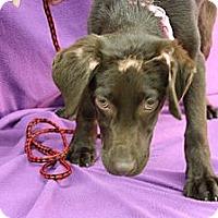 Adopt A Pet :: Merlot - Broomfield, CO