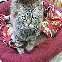 Adopt A Pet :: Cowgirl - LAP CAT - Winder, GA