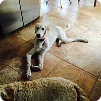 Adopt A Pet :: Simba - Nanuet, NY