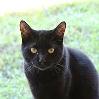 Domestic Shorthair Cat for adoption in Estero, Florida - Herman