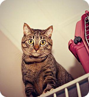 Domestic Shorthair Cat for adoption in Oceanside, California - Rachel