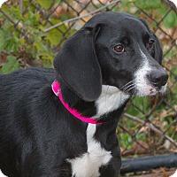 Adopt A Pet :: Sassy - Elmwood Park, NJ