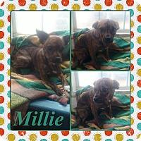 Adopt A Pet :: Millie meet me 12/11 - East Hartford, CT