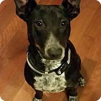 Adopt A Pet :: Gidget - San Diego, CA