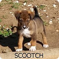 Adopt A Pet :: Scootch - El Cajon, CA