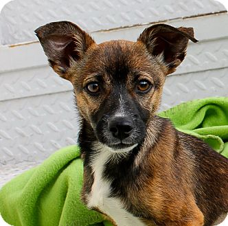 Shepherd (Unknown Type)/Chihuahua Mix Puppy for adoption in Los Angeles, California - Tia