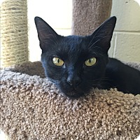 Domestic Shorthair Cat for adoption in Chula Vista, California - Kohl