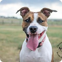 American Pit Bull Terrier Mix Dog for adoption in Cheyenne, Wyoming - Ruth