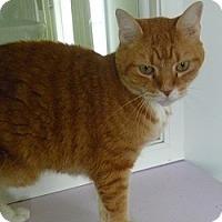 Domestic Shorthair Cat for adoption in Hamburg, New York - Leo
