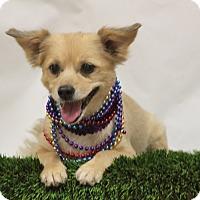 Pomeranian/Dachshund Mix Dog for adoption in Fresno, California - Sadie