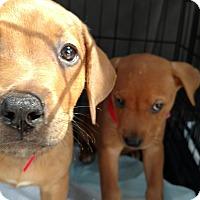 Adopt A Pet :: Irene - Tampa, FL