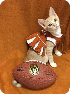 Domestic Shorthair Kitten for adoption in Houston, Texas - Rory