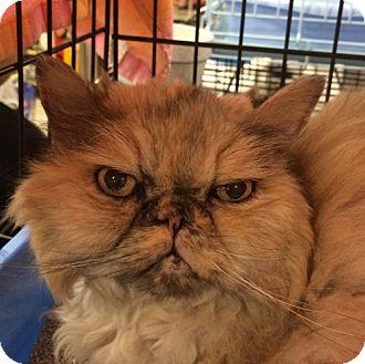 Persian Cat for adoption in Boynton Beach, Florida - Moka