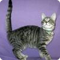 Domestic Shorthair Cat for adoption in Powell, Ohio - Lalita