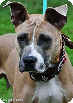 Boxer/American Staffordshire Terrier Mix Dog for adoption in Alpharetta, Georgia - Shiloh