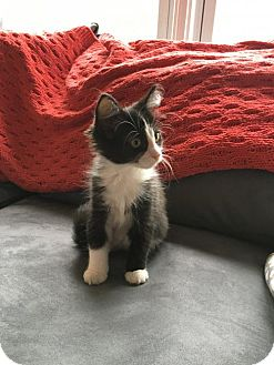 Domestic Shorthair Kitten for adoption in Philadelphia, Pennsylvania - Tuxie