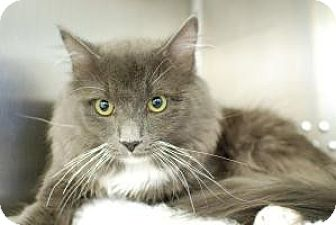 Norwegian Forest Cat Cat for adoption in Arlington, Virginia - Donnie - Doglike Lovebug!