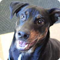 Shepherd (Unknown Type)/Rottweiler Mix Dog for adoption in Claremore, Oklahoma - Colby