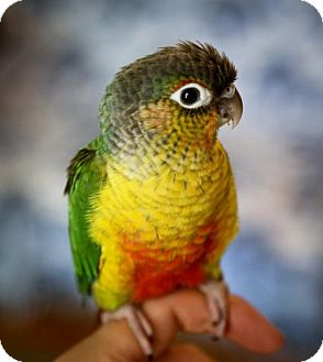 Conure for adoption in Oceanside, California - Finnigan