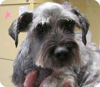 Miniature Schnauzer Mix Dog for adoption in Silver City, New Mexico - Rocky