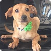 Adopt A Pet :: Coco - Weston, FL