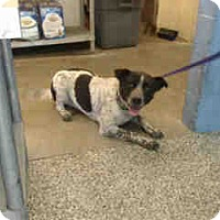 Adopt A Pet :: URGENT on 12/17 SAN BERNARDINO - San Bernardino, CA