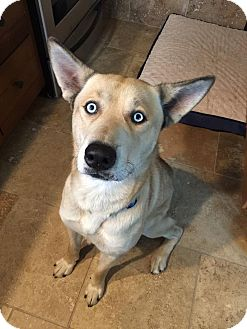 Husky/Shepherd (Unknown Type) Mix Dog for adoption in CORNING, New York - Kuma
