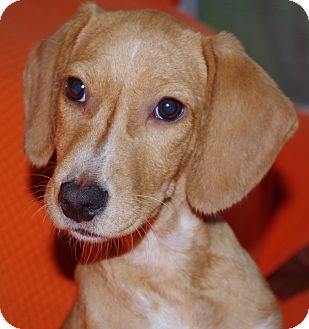Beagle Mix Puppy for adoption in Vidor, Texas - Ruby Toos