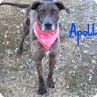 Adopt A Pet :: APOLLO - Poteau, OK