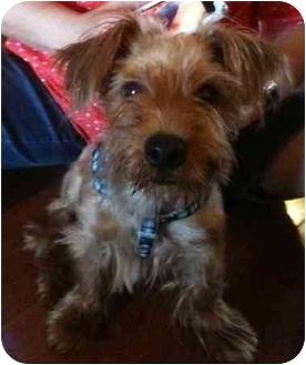 Yorkie, Yorkshire Terrier/Schnauzer (Miniature) Mix Puppy for adoption in West Palm Beach, Florida - Jamie
