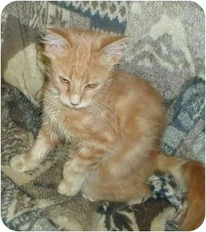 Domestic Mediumhair Kitten for adoption in Elmira, Ontario - Piper